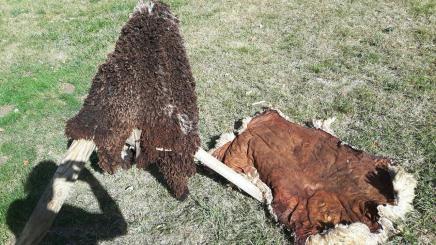 Schafsfelle 2